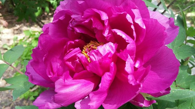 Peony open blossom